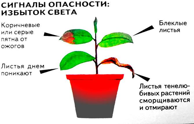 Избыток света для цветка