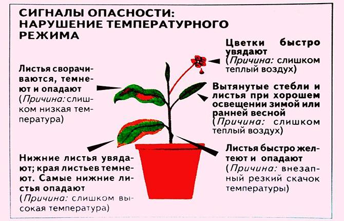 Температурный режим для комнатного цветка